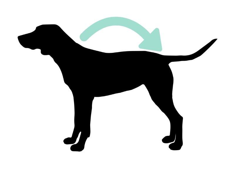 como medir largo perro